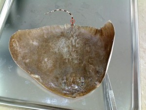 Loghme- Butterfly Ray