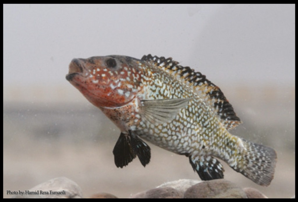 Iranocichla persa, a new cichlid species from southern Iran (
